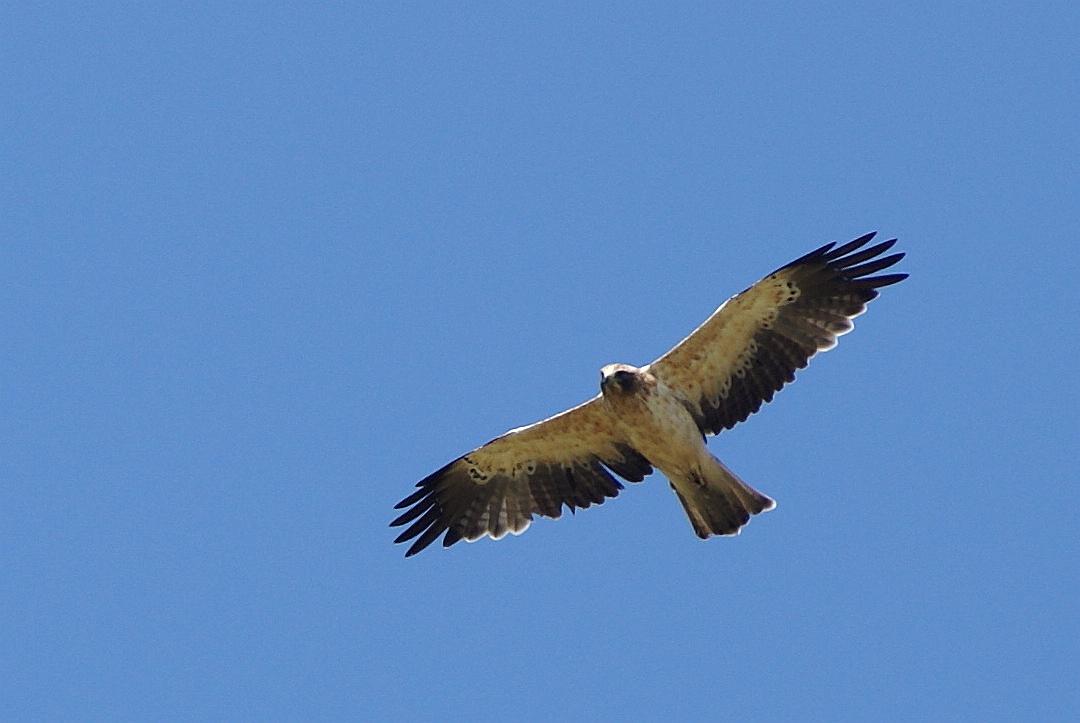 La Réserve naturelle abrite un hôte de marque dans ses bois, l'Aigle botté