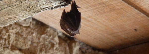 La Réserve naturelle régionale Confluence Garonne-Ariège : D'importantes responsabilités pour la conservation des chauves-souris